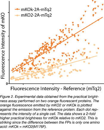 Data obtained from practical brightness assay on two orange fluorescent proteins
