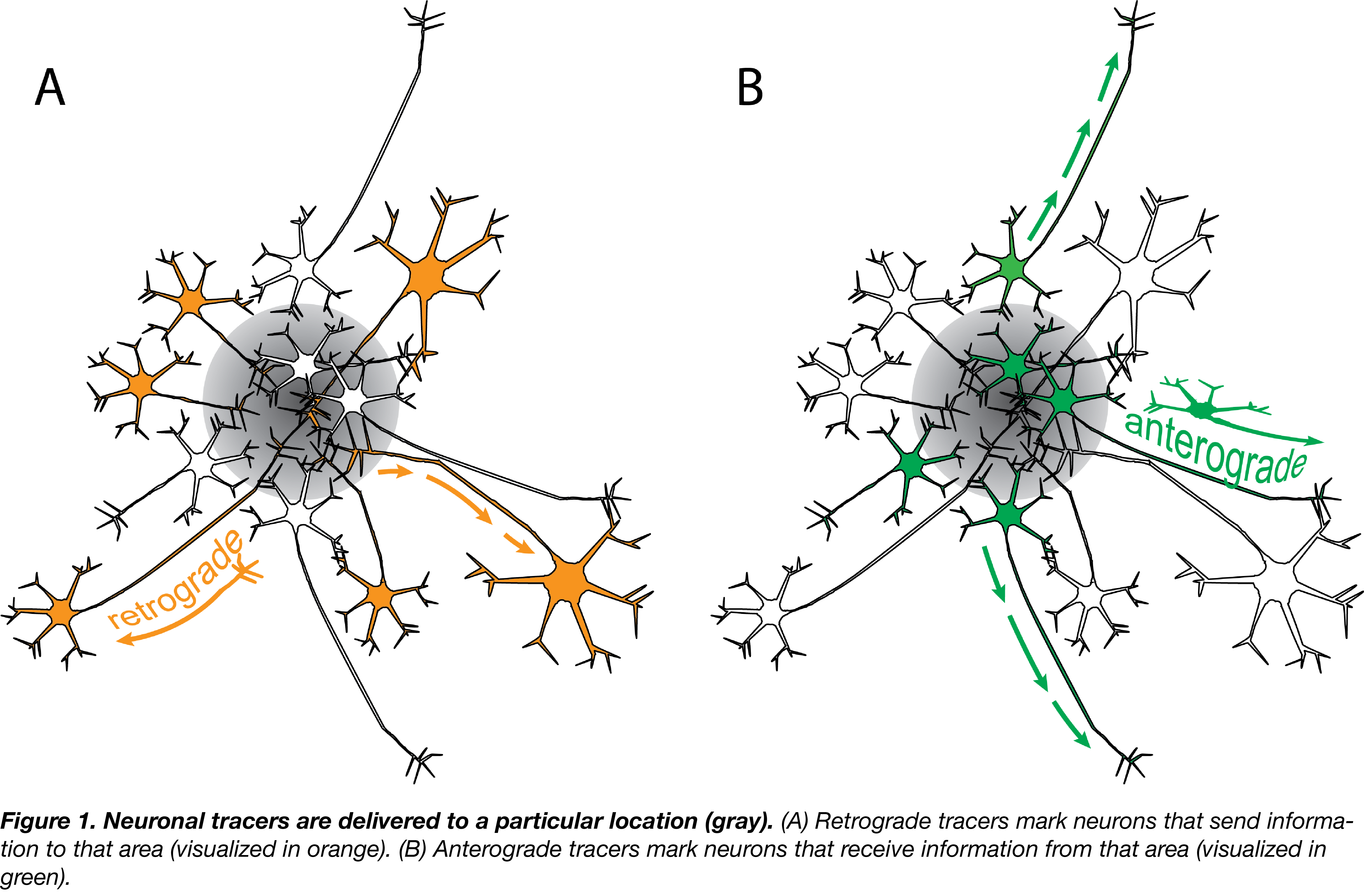 Anterograde and retrograde neuronal tracers