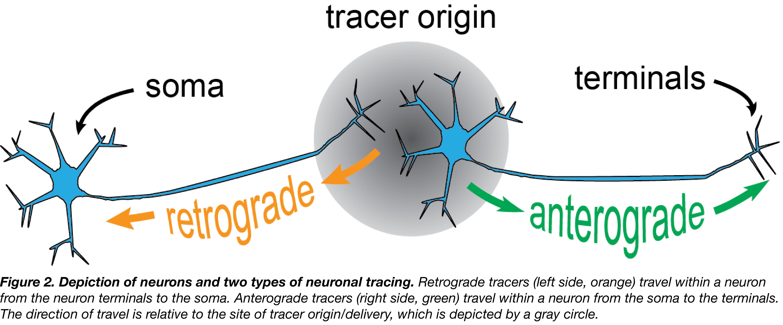 Neuronal tracing