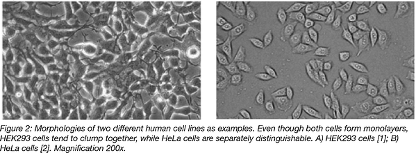 Morphologies of HEK293 and HeLa Cells