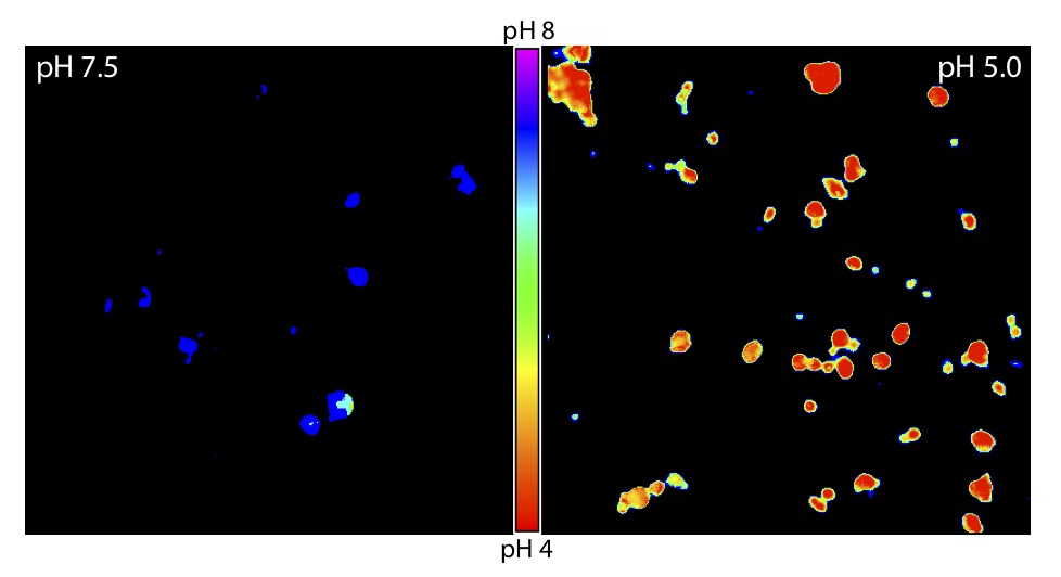 Endosomal pH Sensor