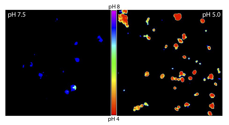 Endosomal pH Sensor at pH 7.5 and pH 5.0