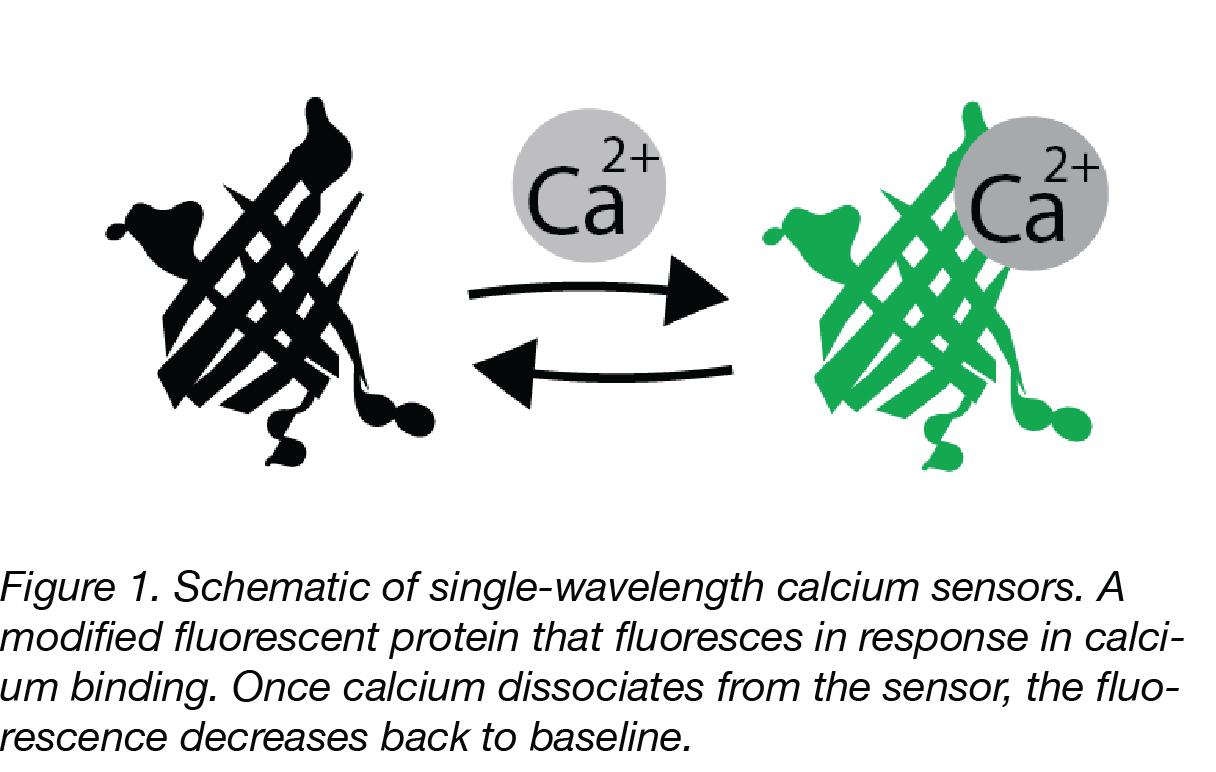 Calcium Sensors copy Captioned-01