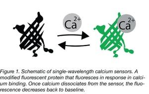 Calcium Sensors fluoresces upon calcium binding