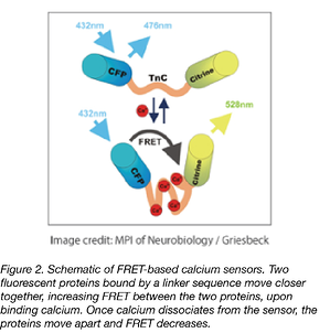 FRET-based calcium biosensors