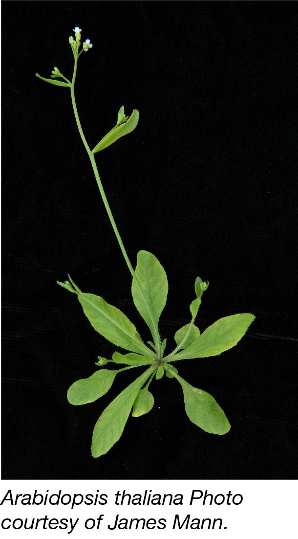 Arabidopsis Thaliana-02