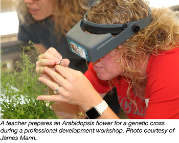 Teacher prepares arabidopsis flower for genetic cross