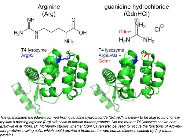 Arginine functional replacement with guanidine
