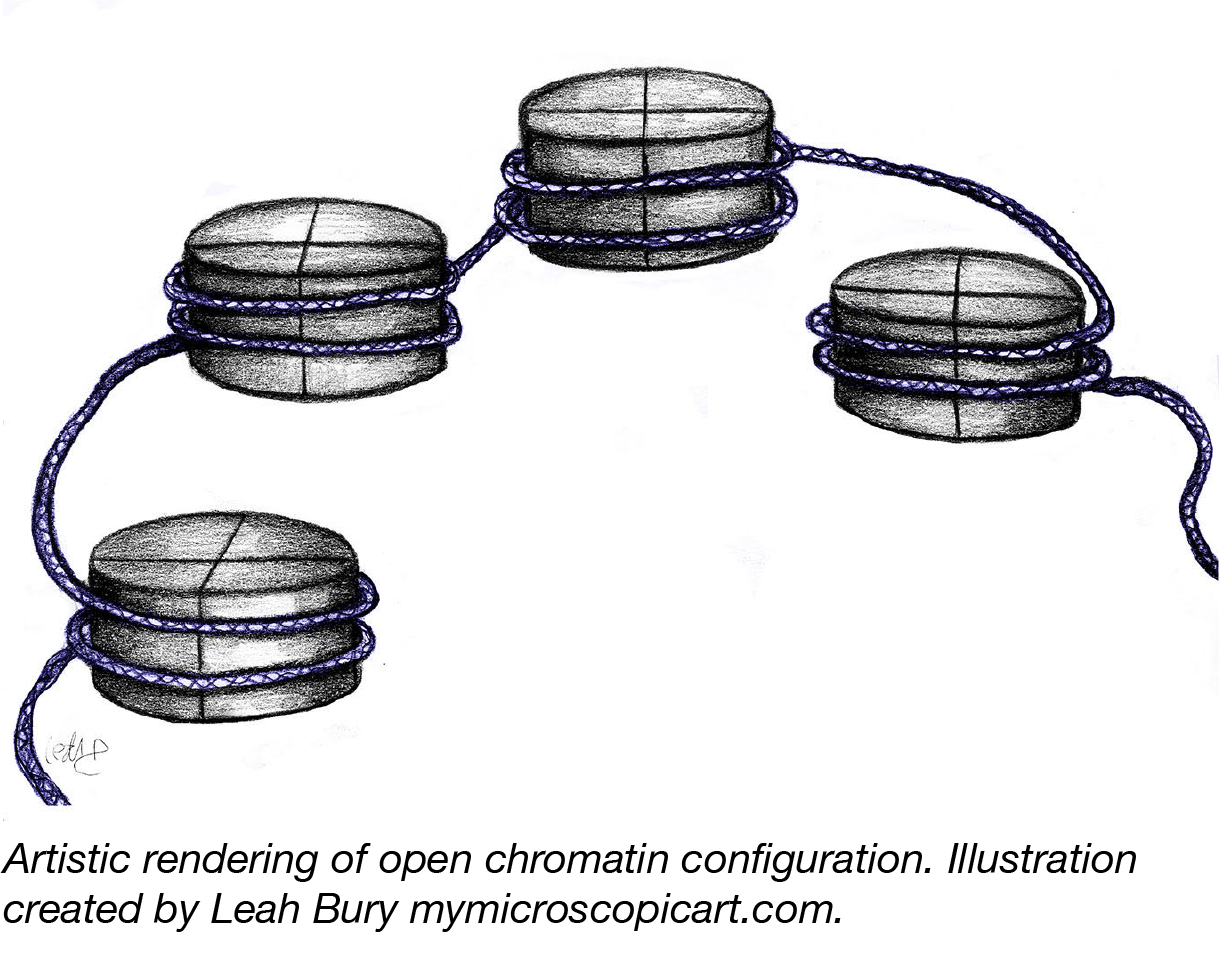 Open Chromatin Configuration