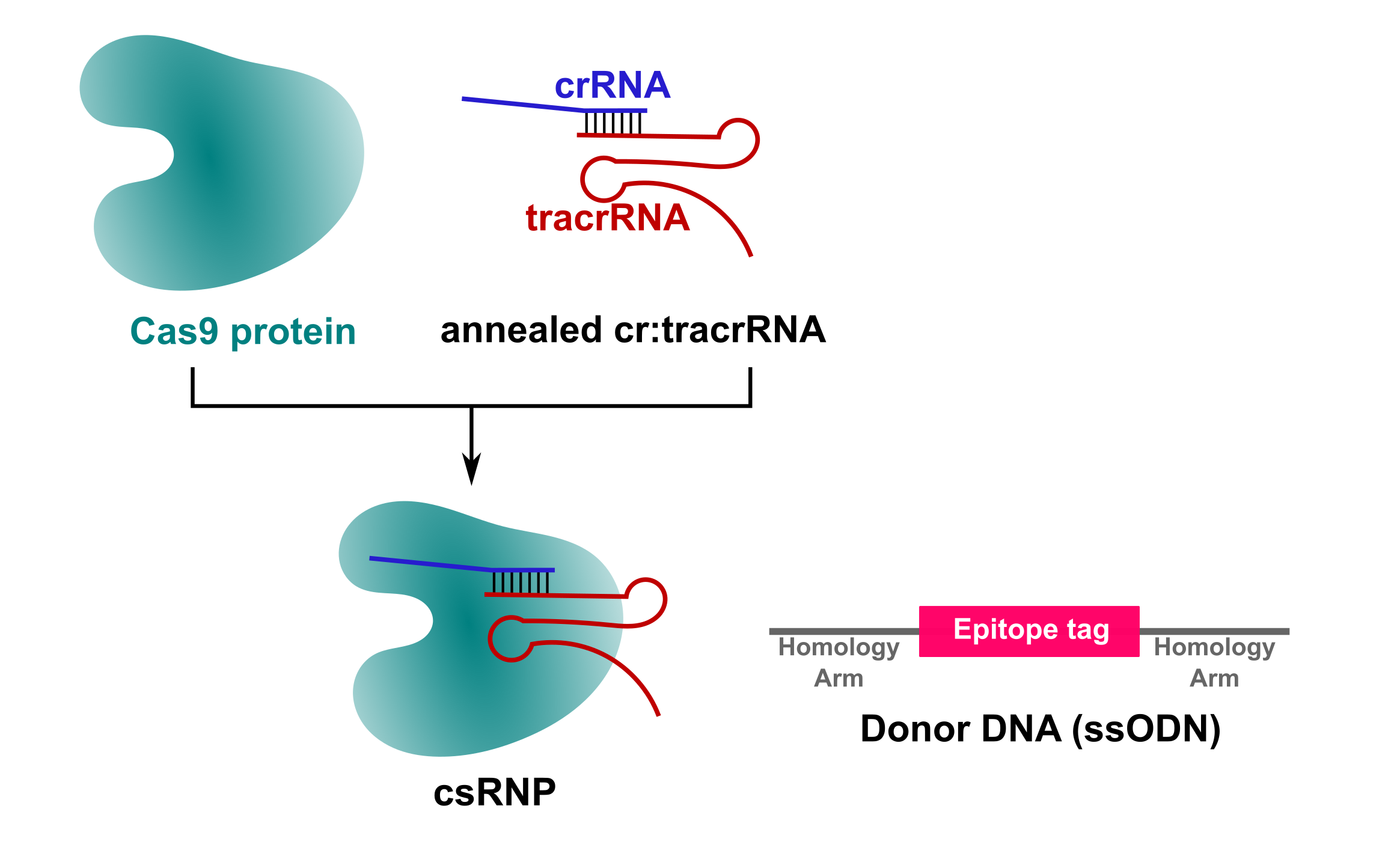 csRNP epitope tagging strategy