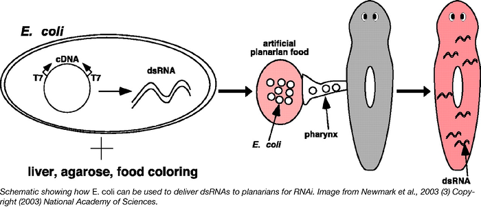 E coli can be used to deliver dsRNAs to planarians for RNAi