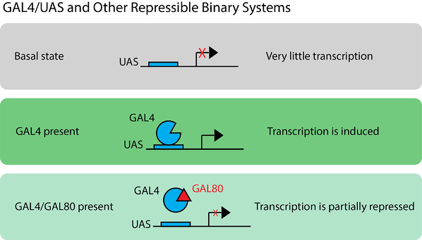 GAL4 UAS Binary Systems