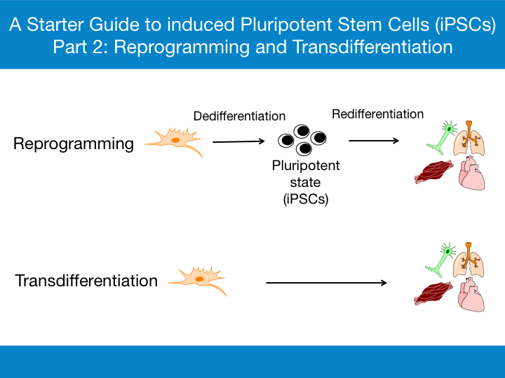 Reprogramming and Transdifferentiation Infographic