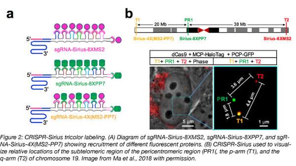 CRISPR Sirius tricolor labeling