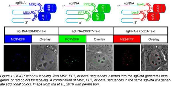 CRISPRainbow multicolor labeling