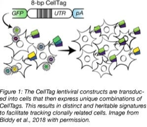 CellTag lineage tracing overview