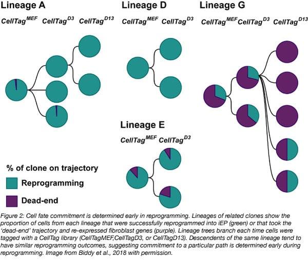 CellTag reprogramming lineages addgene blog