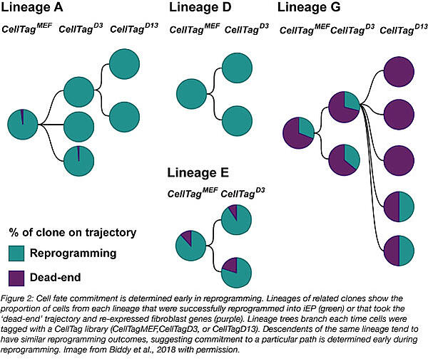 CellTag reprogramming lineages