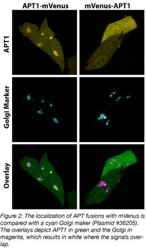 APT mVenus protein fusions
