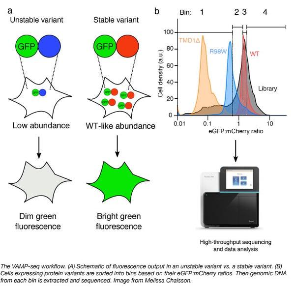 VAMP-seq workflow to identify protein variants