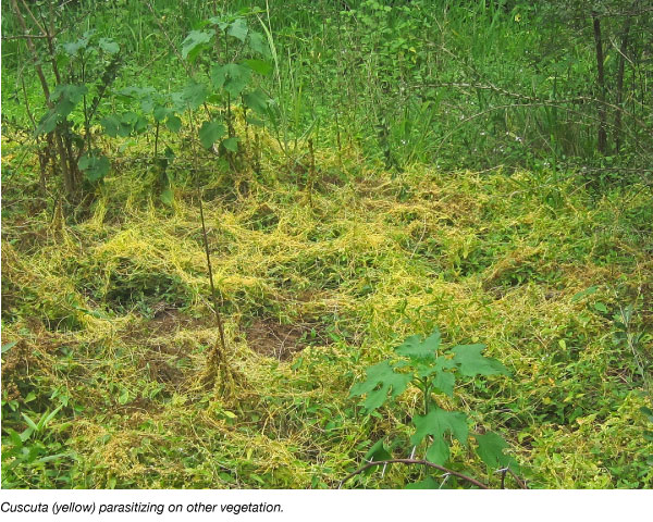 Cuscuta weed parasitizing on other vegetation
