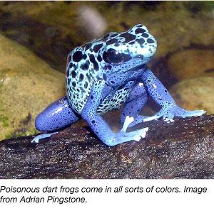 blue poisonous dart frog