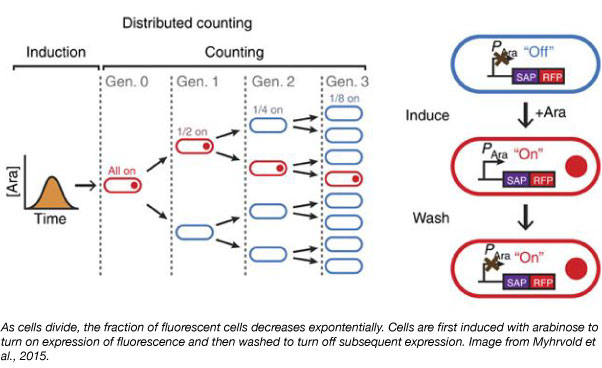 cell division counting plasmids