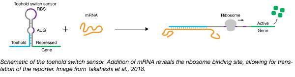 toehold switch sensor mRNA