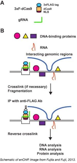 enChIP CRISPR genomic purification Fujita Fujii