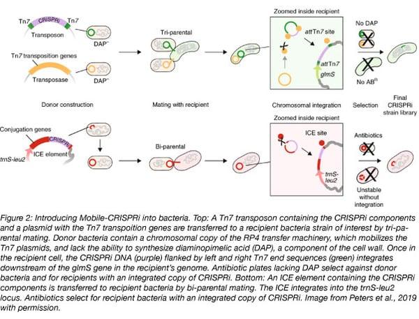 mobile CRISPRi conjugation methods