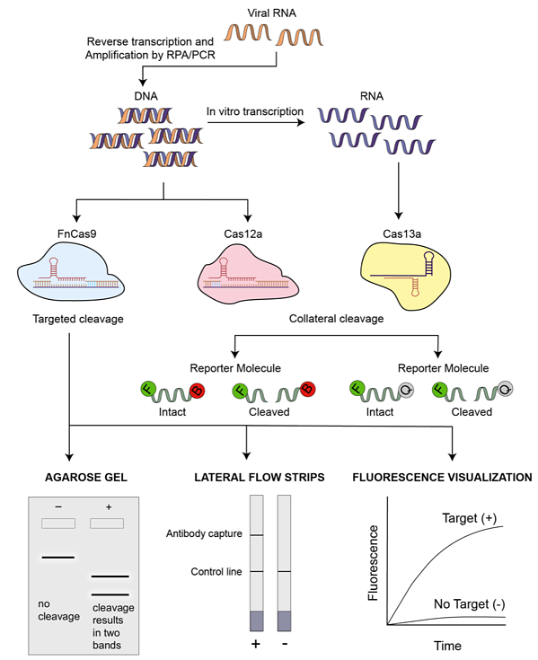 Flowchart of CRISPR diagnostic tests that begin with viral RNA with a readout either on an agarose gel, lateral flow strips, or fluorescence visualization