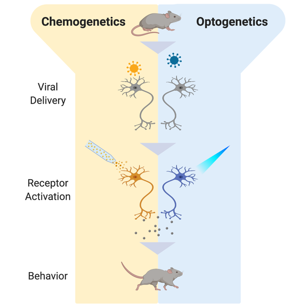 Schematic of chemogenetics versus optogenetics in terms of viral delivery, receptor activation, and behavior