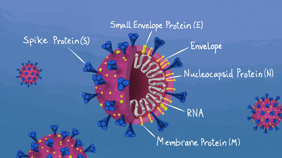 SARS-CoV-2 viral particle with proteins, envelope, and RNA labelled