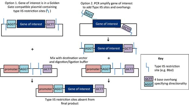 schematic of golden gate cloning