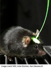 Mouse in optogenetics apparatus