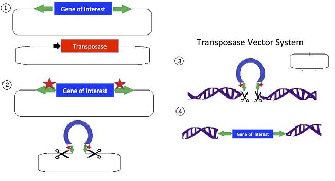 Overview of the Sleeping Beauty transposon system. The transposon consists of a mirrored set of inverted repeats  flanking the gene of interest in a plasmid backbone. A separate plasmid contains the transposase gene for expressing the transposase enzyme. The transposase enzyme is expressed and binds the inverted repeats; and an endonuclease reaction occurs which cuts the DNA. The released transposon can now bind a strand of DNA with a TA dinucleotide (there are many such sites in the human genome). The original plasmid is empty following the removal of the transposon; the plasmid is then degraded by the cell. The transposase creates a double strand break in the DNA and allows the tranposon to integrate. Additionally, the TA sequence is duplicated near the gene of interest insertion site.