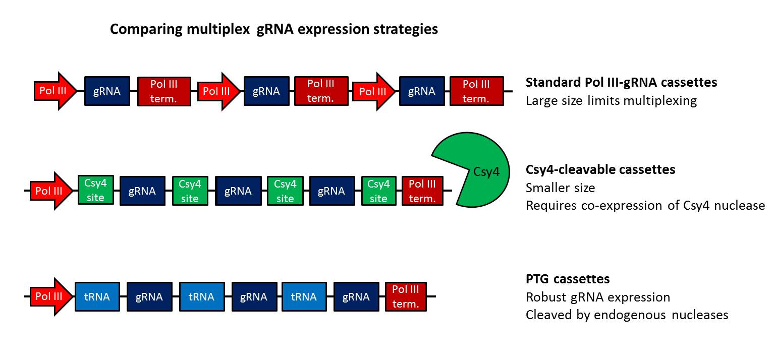 grna_trna_multiplex_crispr_updated_edit