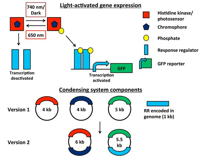 Enhanced two component system for light controllable gene expression. A hybrid histidine kinase/photosensor senses various light inputs, and an obligate chromophore allows the system to respond. In far-red light or dark conditions, the chromophore activates the response regulator via phosphorylation, promoting transcription of a GFP reporter. Subsequent exposure to red light rapidly deactivates the system.
