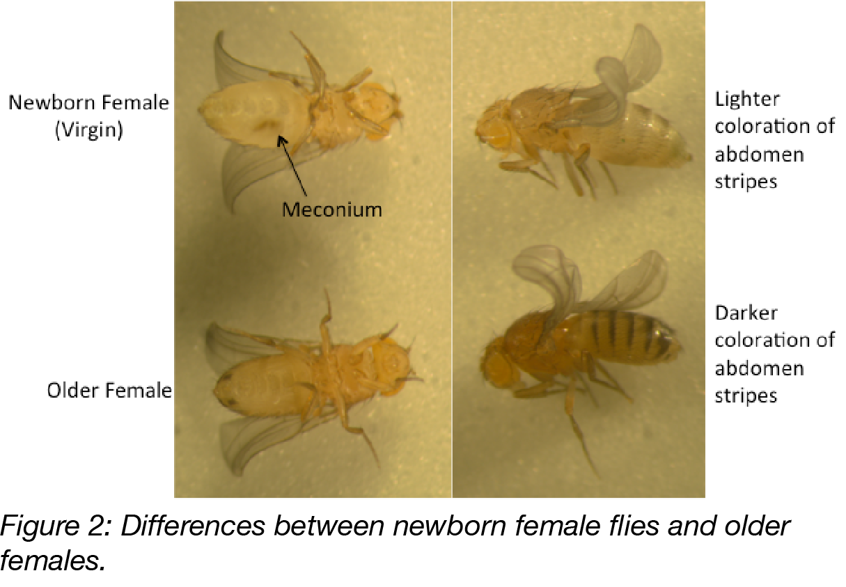 Figure 2 Virgin Flies-01.png