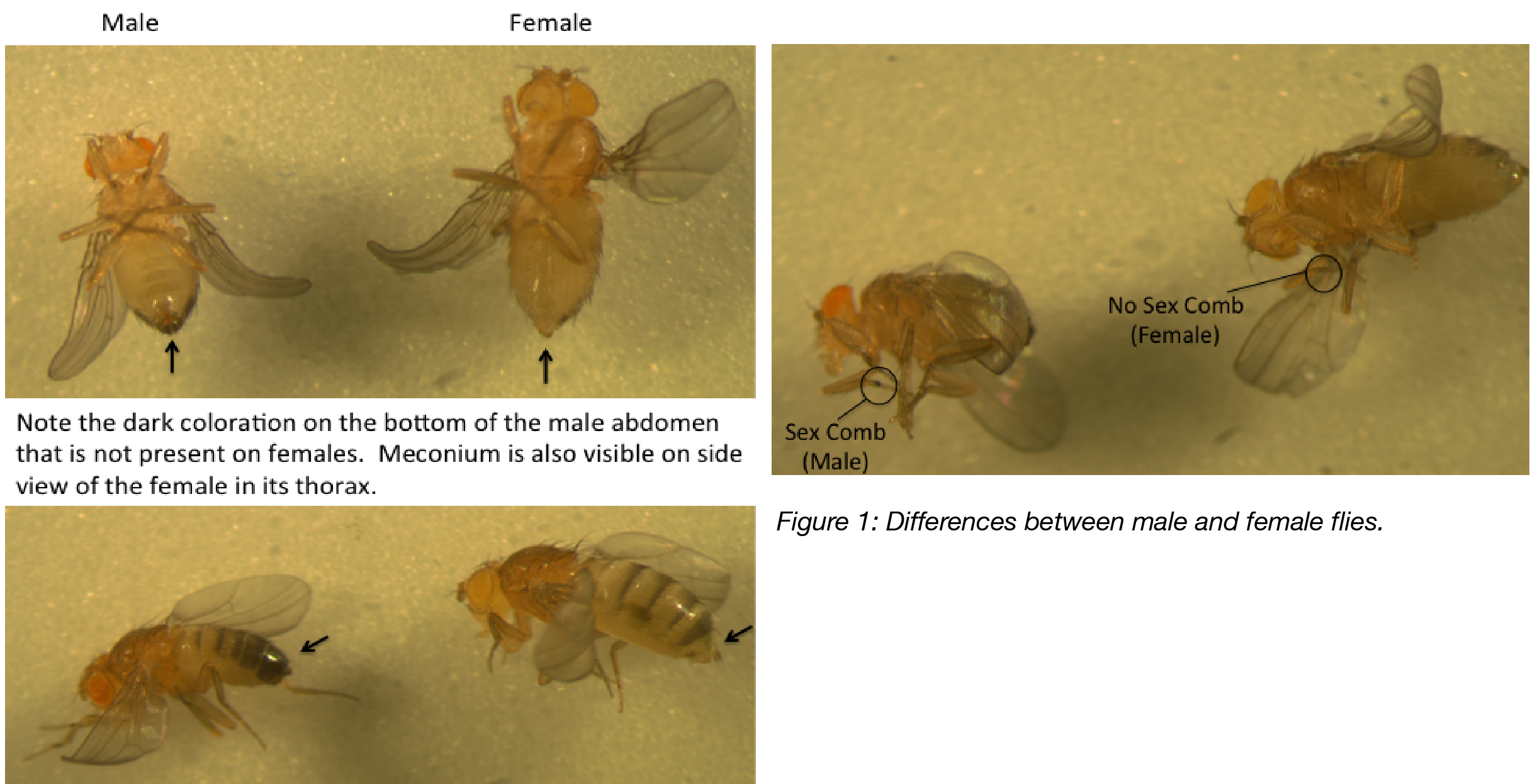 Male and Female Flies-01.png