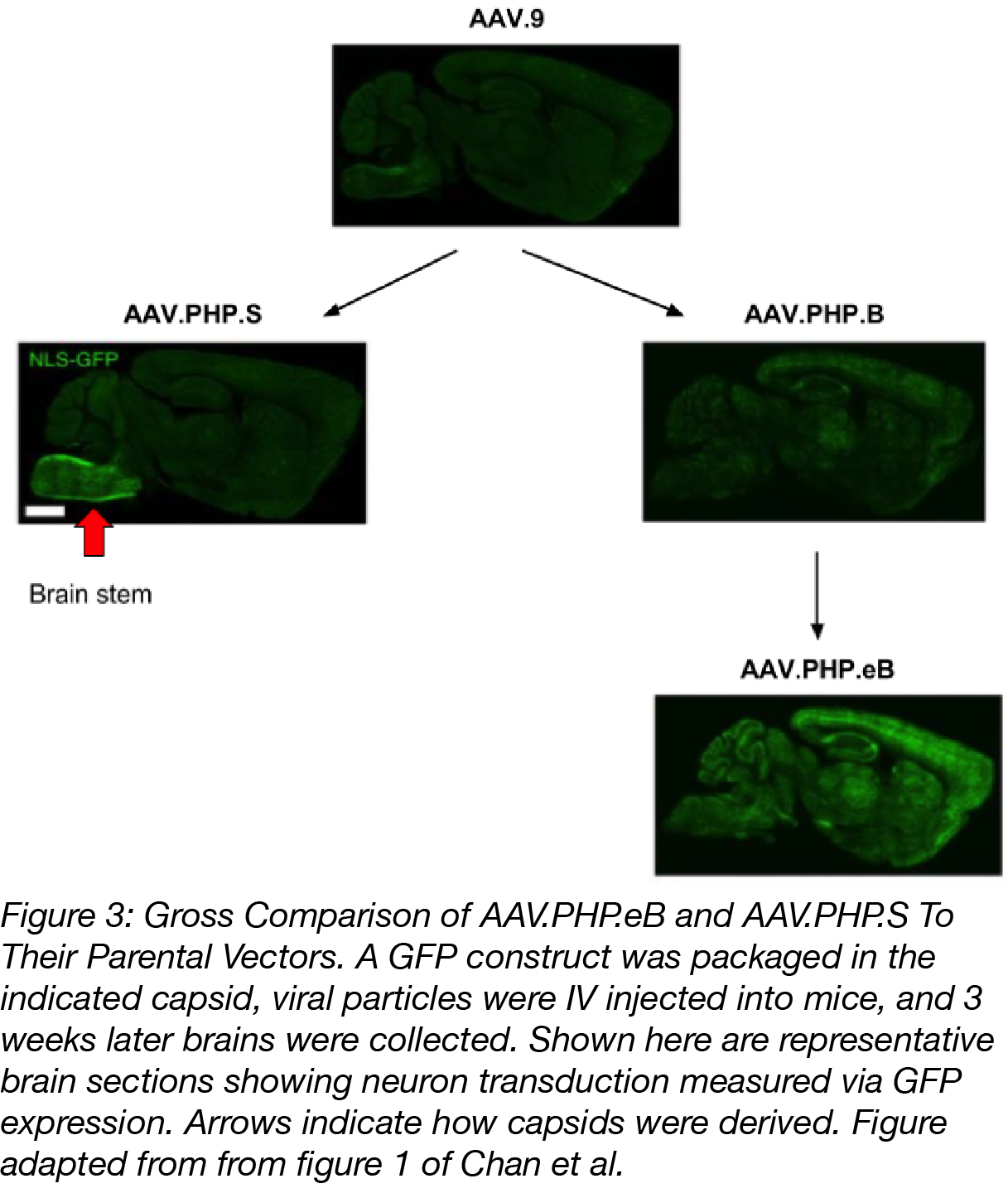 AAV.PHP.eB and AAV.PHP.S GFP delivery to the mouse brain