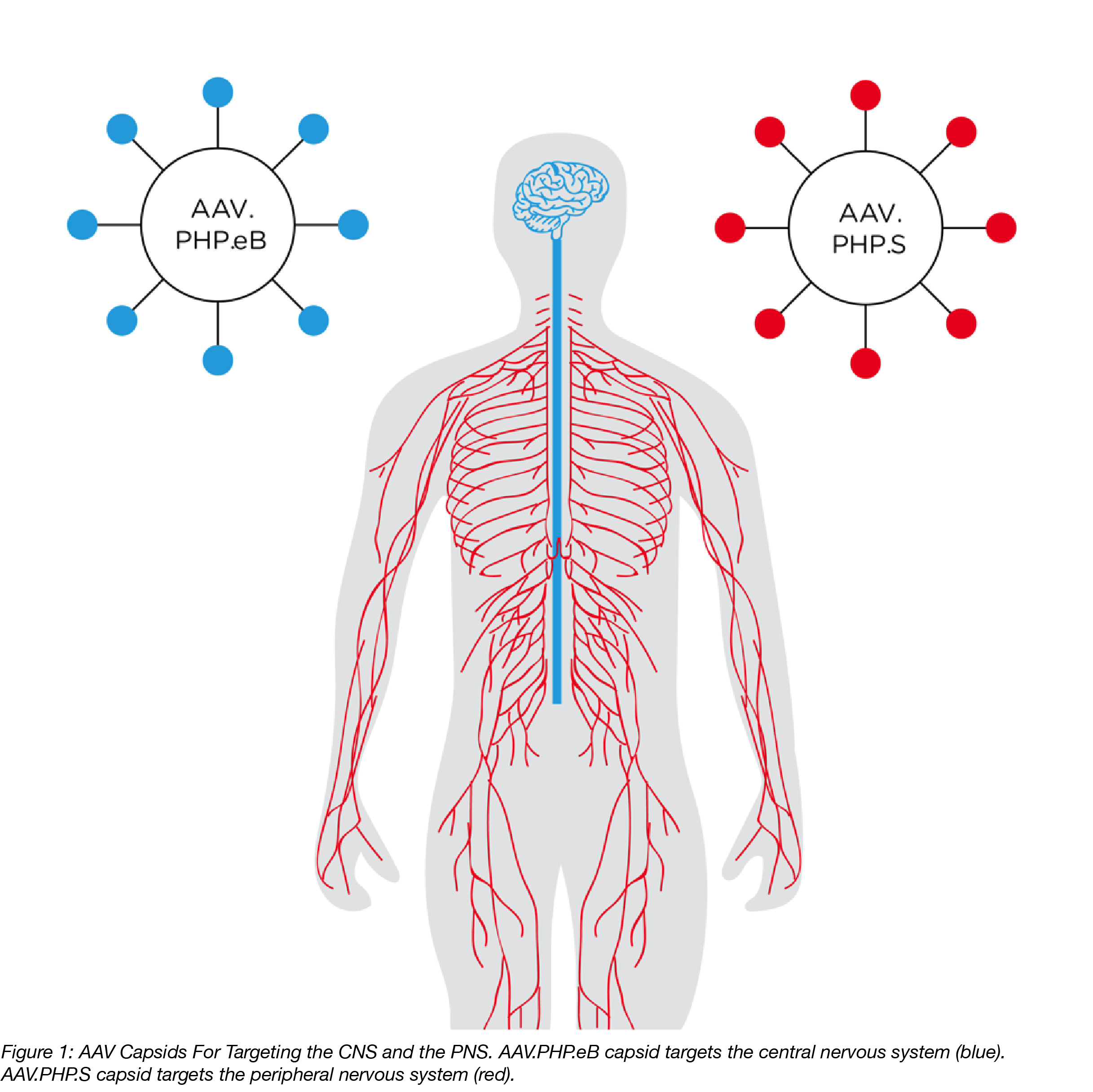 AAV Capsids targeting the CNS and PNS