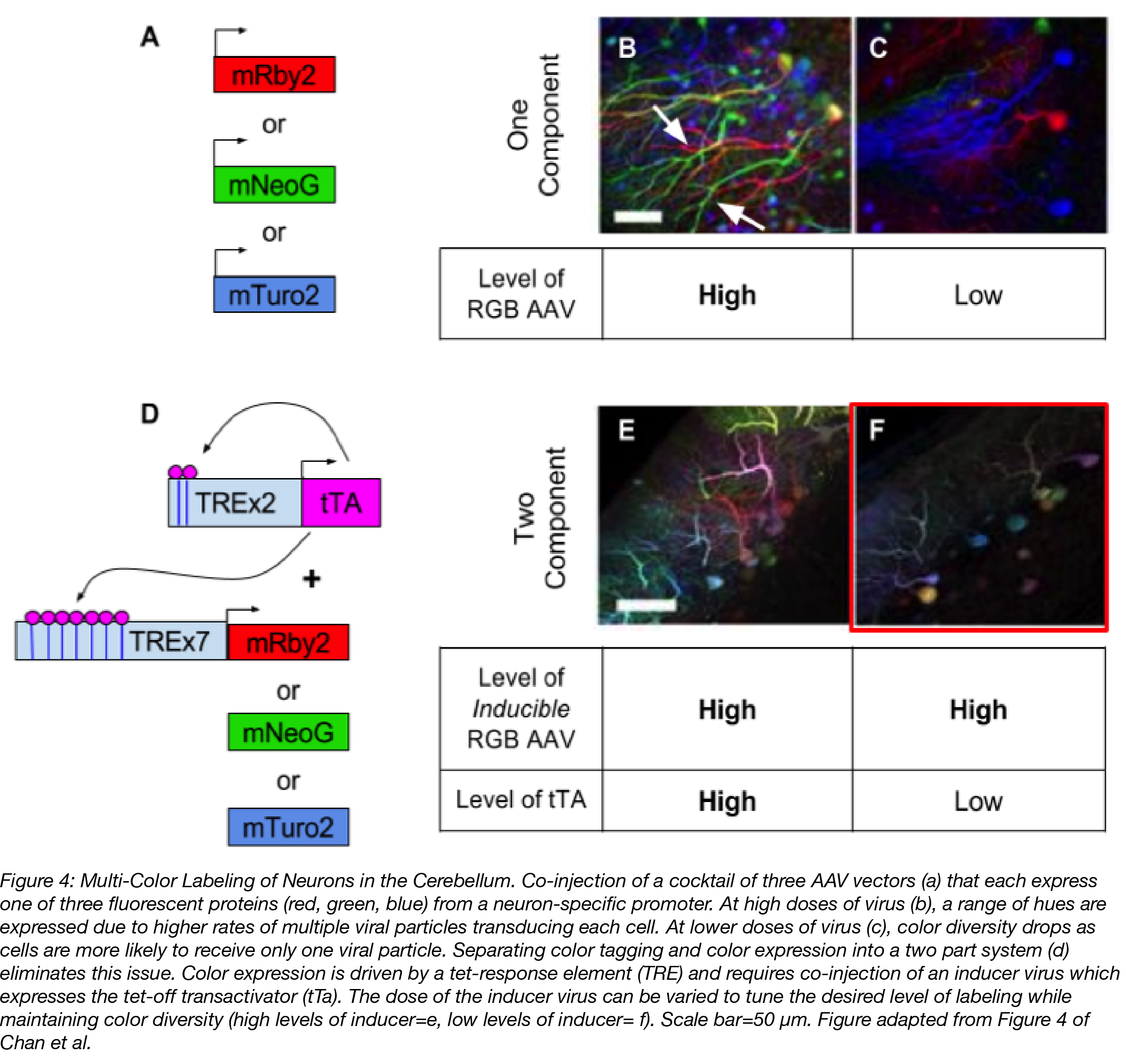 AAV Multicolor labeling of the mouse brain
