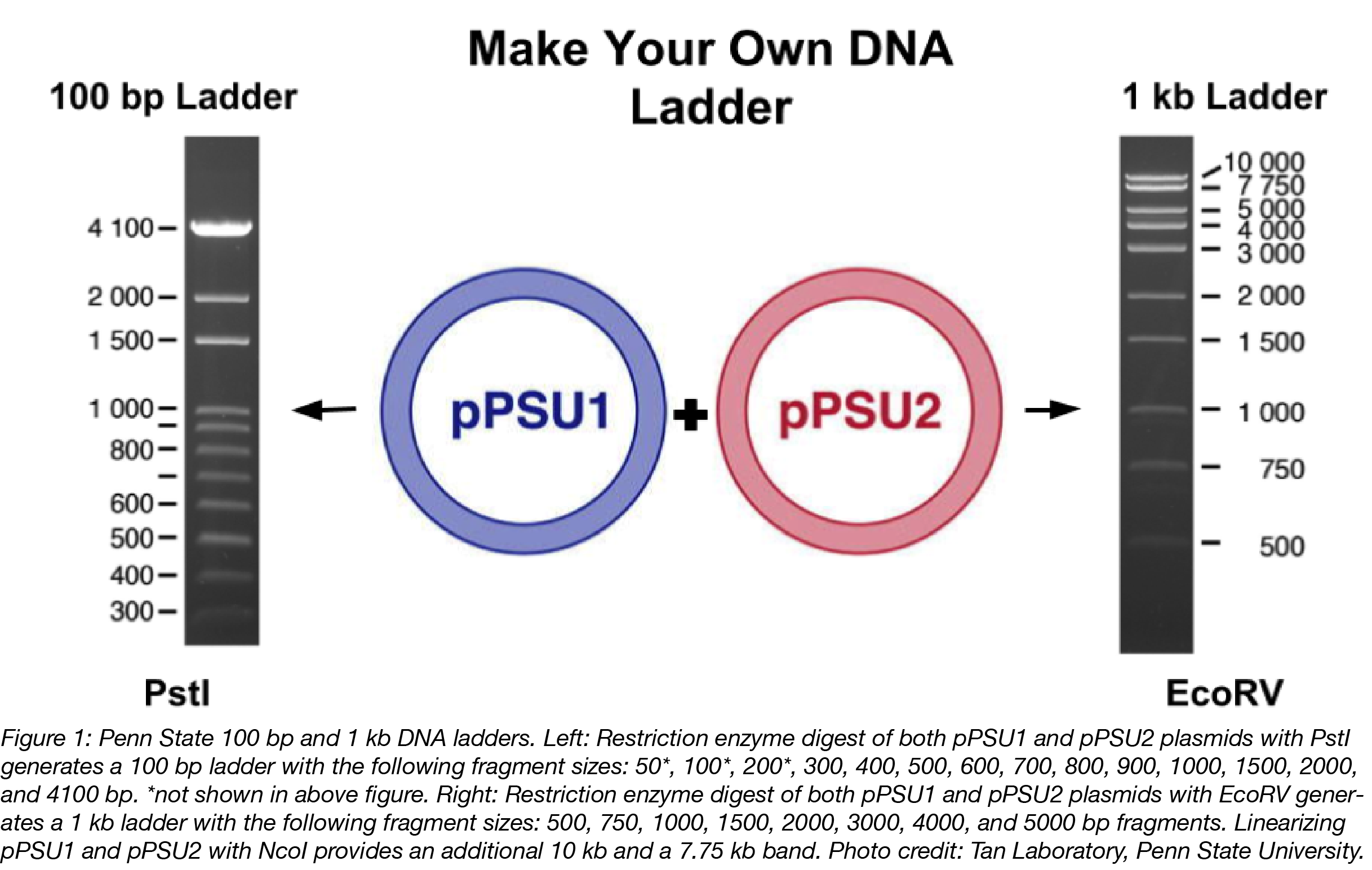 PSU DNA Ladders-01.png