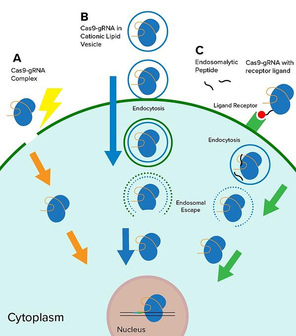 Diagram showing Cas9-gRNA ribonucleoprotein delivery via electroporation, cationic lipid-mediated methods, and internalization by specific cell types using Cas9 proteins harboring receptor ligands