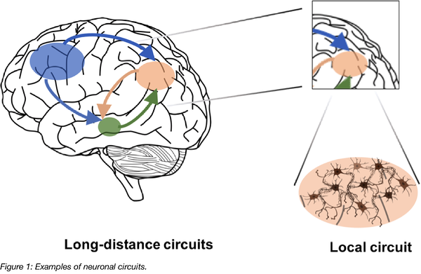 Examples of Neuronal Circuits
