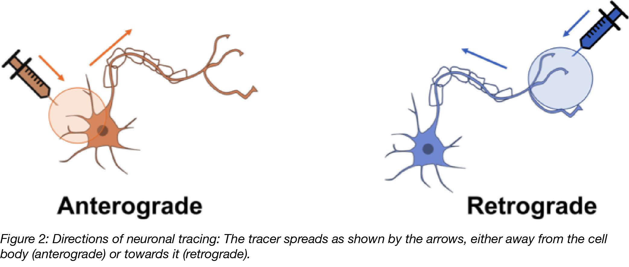 Anterograde and Retrograde Tracing