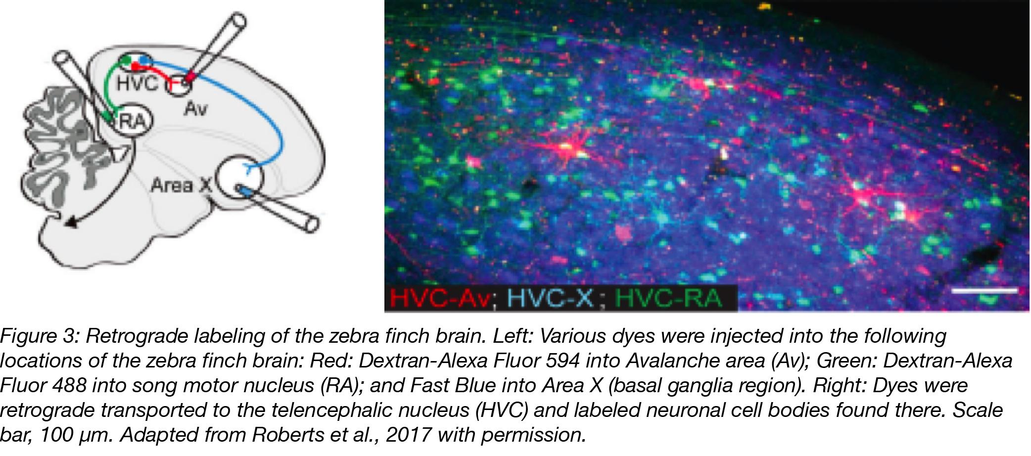 Retrograde Labeling of Zebra Finch Brain
