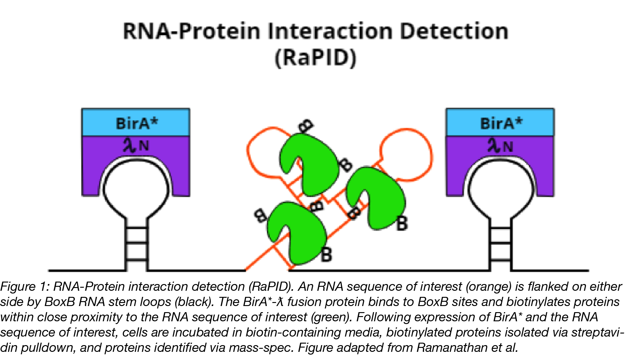 RNA-Protein Interaction Detection (RaPID) diagram