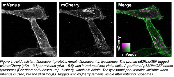 acid resistant fluorescent proteins remain fluorescent in lysosomes